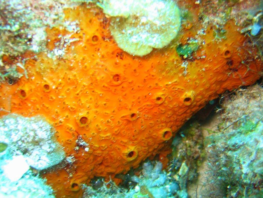 Encrusting Sponge Orange Sieve Encrustin...