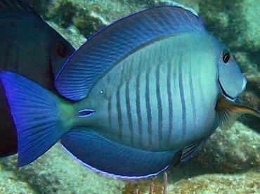Doctorfish - photo#17